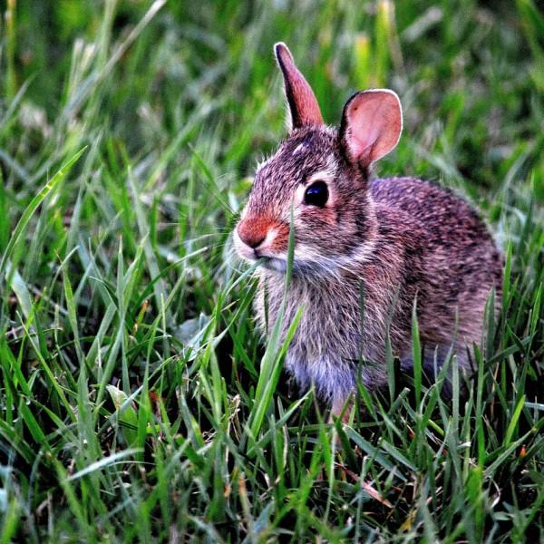 Nieuw virus bij konijnen bevestigd