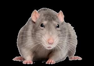 Dierenkliniek De Berg - Muizen en Ratten