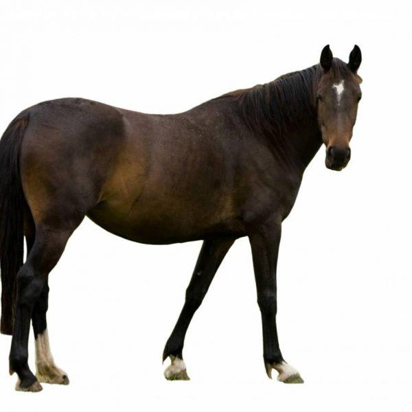Influenza / Griep bij het paard